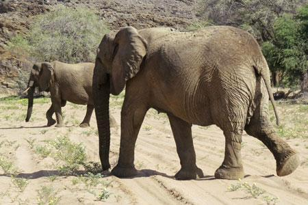 The Desert Elephants of the Kaokoveld