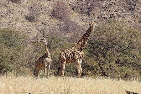Giraffe with offspring